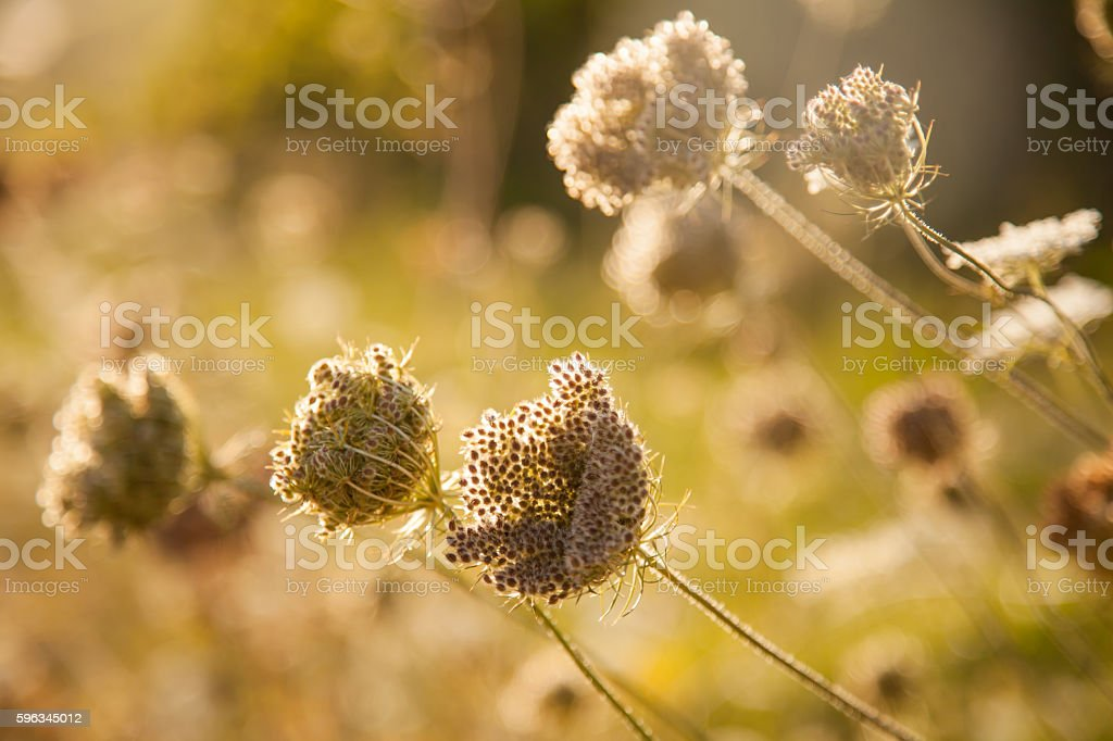 beautiful  wildflowers in moody evening Sunlight royalty-free stock photo