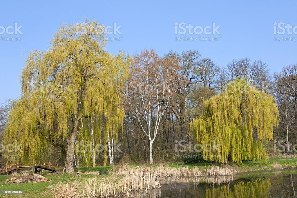 Beautiful Willow Tree in Springtime royalty-free stock photo