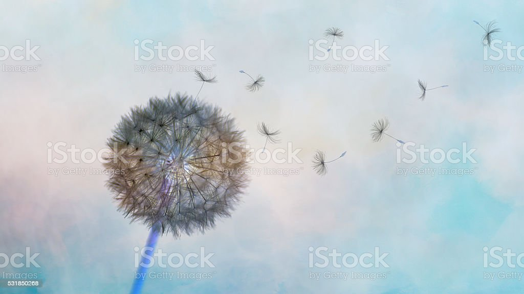 Beautiful Wind Blowing fluffy Dandelion seeds stock photo