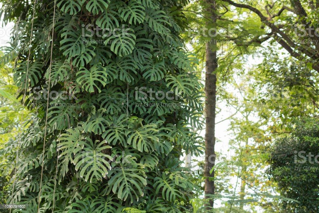 Beautiful windowleaf  / Swiss cheese plant (Monstera deliciosa ) grown on the tree