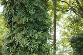 Beautiful windowleaf  / Swiss cheese plant (Monstera deliciosa ) grown on the tree
