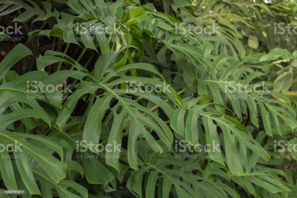 Beautiful windowleaf  / Swiss cheese plant (Monstera deliciosa )