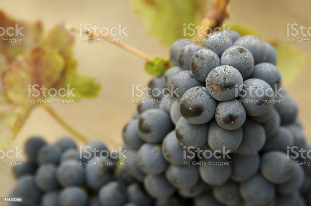 Beau vin de raisin sur la vigne photo libre de droits