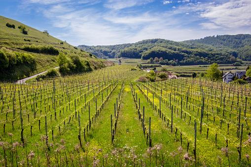 A beautiful wineyard nearby Badberg in Kaiserstuhl, Germany. Taken on a nice warm spring afternoon.