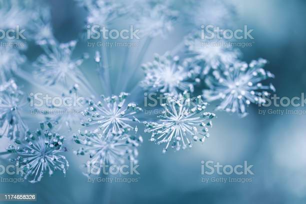 Beautiful winter background with dry plants covered hoarfrost in picture id1174658326?b=1&k=6&m=1174658326&s=612x612&h=lp8ig1t kly8 ybecos flgaibxlnakos3xkjziez1a=