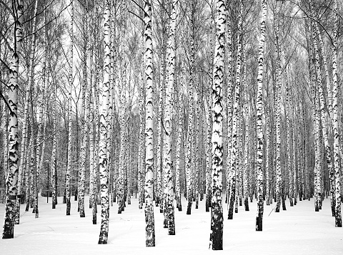 Beautiful winter birch grove black and white
