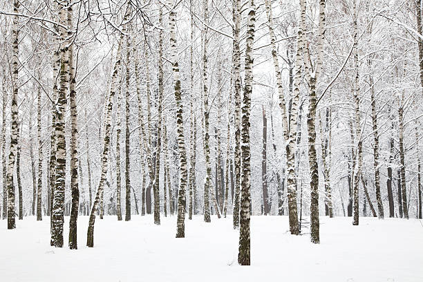 Beautiful winter birchwood stock photo