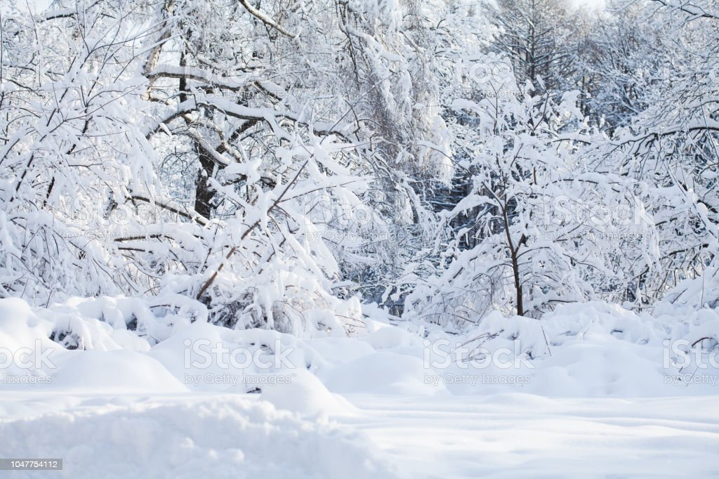 Beautiful winter forest landscape, cold weather scene, snow covered...