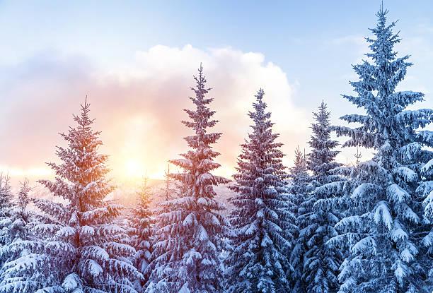 beautiful winter forest - januari bildbanksfoton och bilder