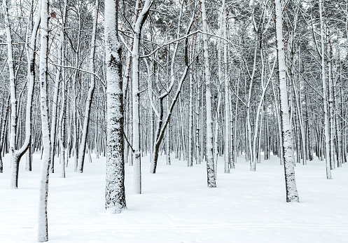 beautiful winter forest scene with bare trees covered with snow