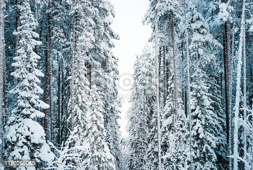 1061644120 istock photo Beautiful winter landscape: forest trees, pines and firs covered with snow on a sunny Christmas day, against the sky. 1180265065