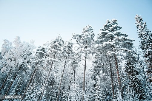 1061644120 istock photo Beautiful winter landscape: forest trees, pines and firs covered with snow on a sunny Christmas day, against the sky. 1180266323