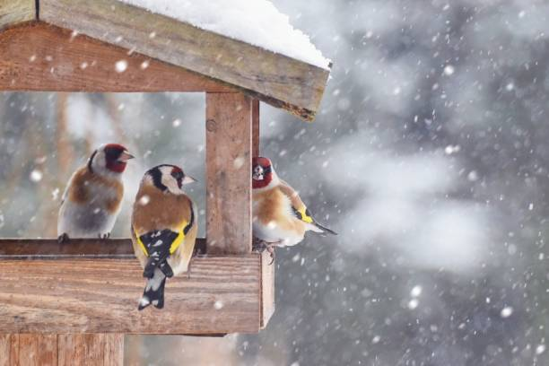 Beautiful winter scenery with European Finch birds in the bird house within a heavy snowfall stock photo