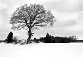 Beautiful winter season specific photograph. Single large tree standing tall and proud on a snow covered meadow/paddock. Silhouette of branches, trunk and various other vegetation. White background.