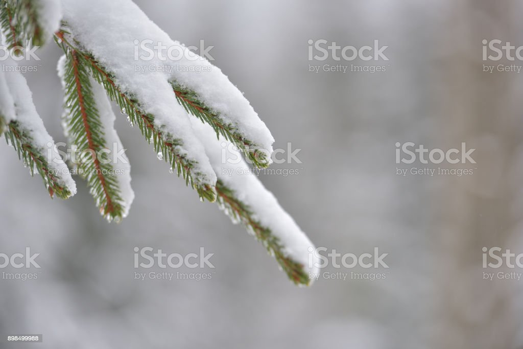 Beautiful winter tree. Close up details on pine needles brunch covered with snow at cold winter season. stock photo