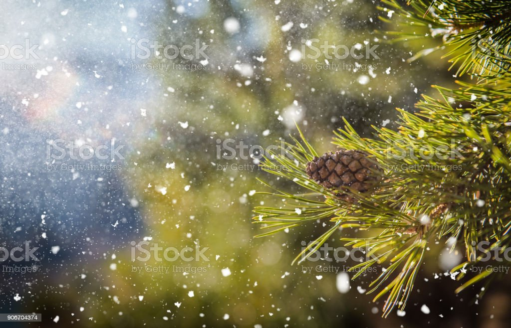 Beautiful winter tree. Close up details on pine needles brunch covered with snow at cold winter season stock photo