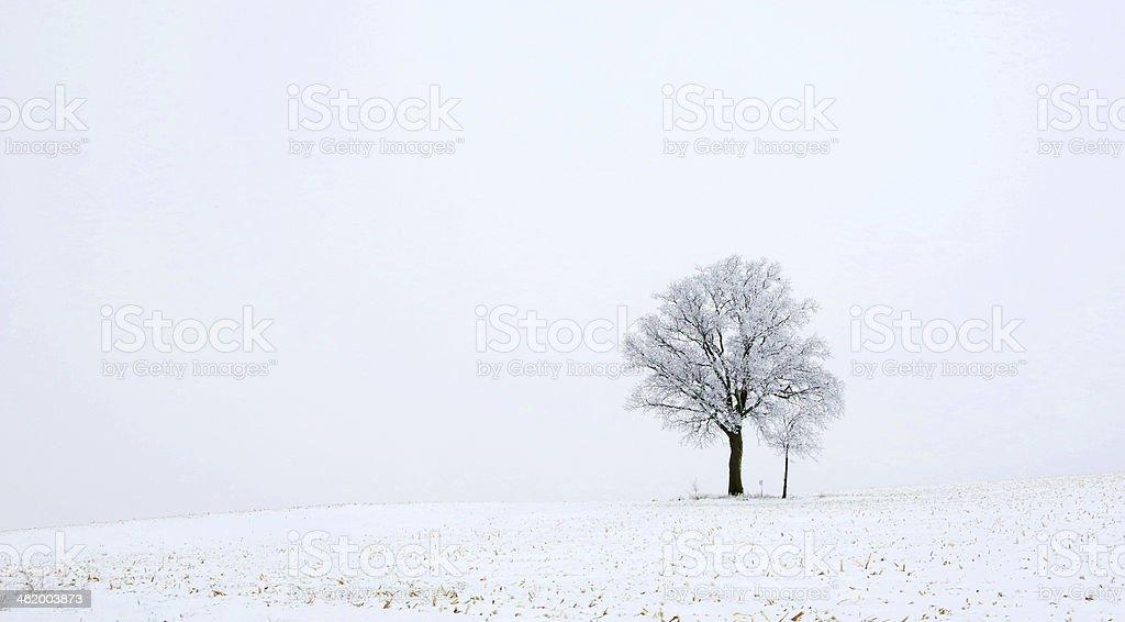 Beautiful winter tree with sapling royalty-free stock photo