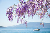Beautiful wisteria flowers are blooming in spring on blurred background of blue sea, mountains, boat.