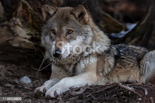 Beautiful, adult european wolf lies on forest floor