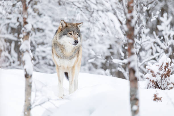 Beautiful wolf standing in the snow in beautiful winter forest stock photo