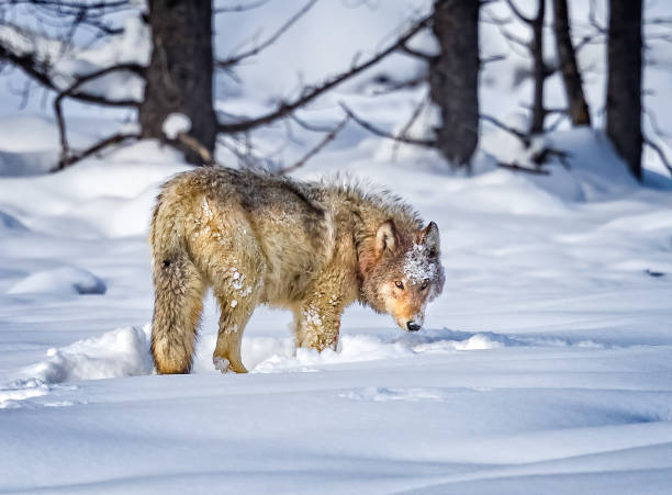 beautiful wolf turns toward camera - lupo foto e immagini stock