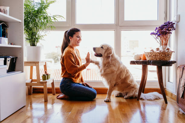 beautiful woman doing high five her adorable golden retriever dog at home. love for animals concept. lifestyle indoors stock photo