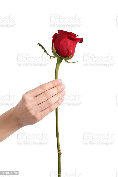 Beautiful woman hand holding a red rose bud picture id178439788?b=1&k=6&m=178439788&s=612x612&h= zha rfjct  oo8ybsd9ho8tkia9ktfkrff4xitic k=