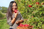 Beautiful woman holding red apples in the orchard with a basket full of organic apples.