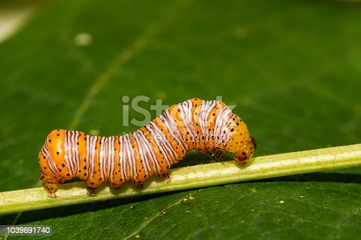 istock Beautiful Wood Nymph Caterpillar 1039691740