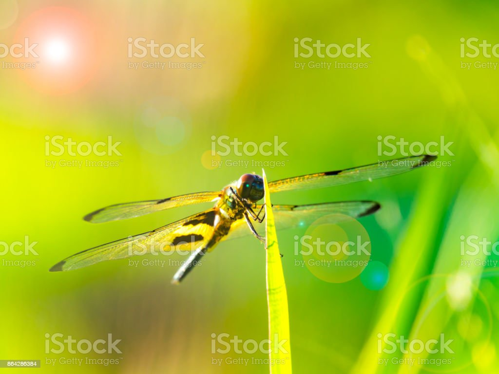 beautiful yellow and black dragonfly on grass in light of morning royalty-free stock photo