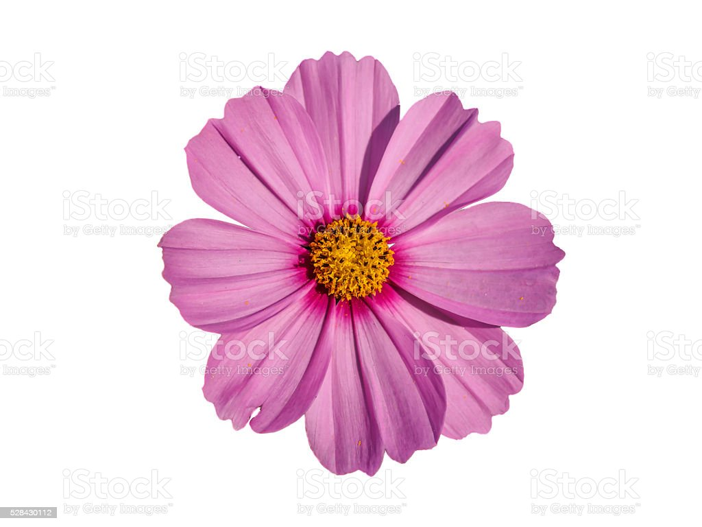 beautiful yellow and pink Marguerite isolated on white background stock photo