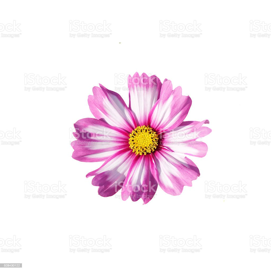 jaune et de rose marguerite seul sur fond blanc – photos et plus d