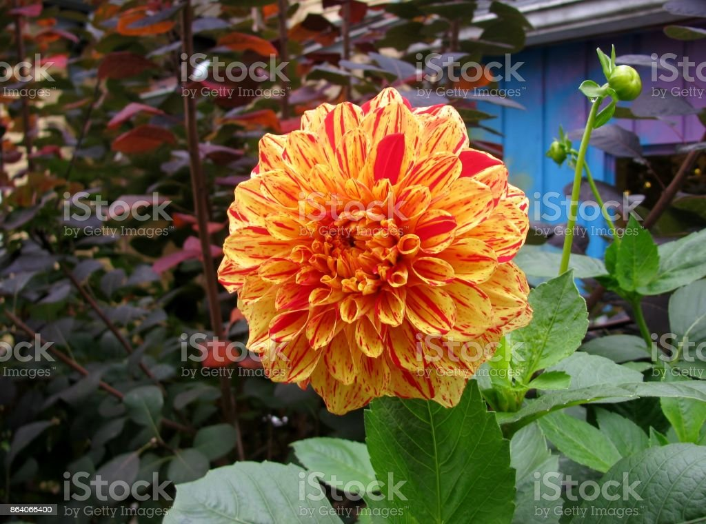 Beautiful yellow and red dahlia stock photo