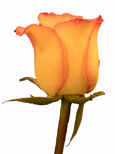 Beautiful yellow and red rose on white background stock photo