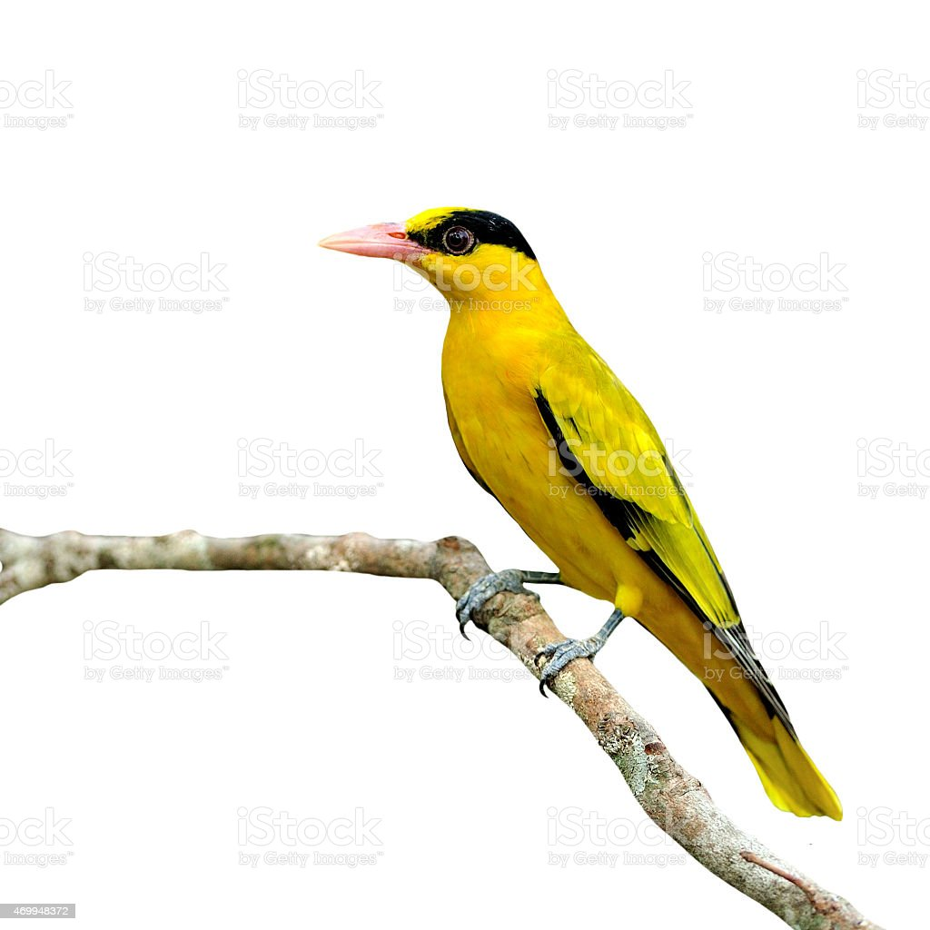 Magnifique oiseau jaune noir nuque oriole photos et for Oiseau jaune et noir