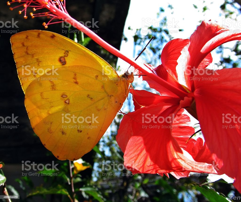 beautiful yellow butterfly hibiscus flower stock photo