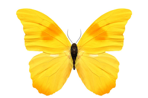 Beautiful yellow butterfly isolated on white background picture id940050190?b=1&k=6&m=940050190&s=612x612&w=0&h=yo1q3lifrmtb5rtauxr7asshrrfieer6o6gr ekkxma=