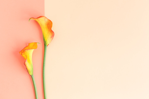 Beautiful yellow Calla Lilies flowers on a peach pastel background.  Flat lay. Place for text.