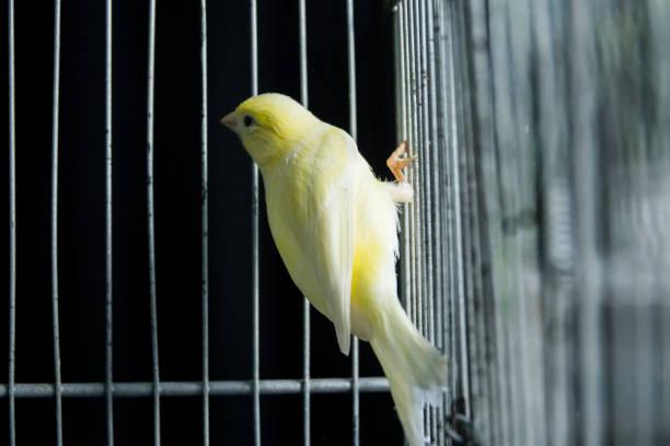 beau jaune canari dans une cage - canari photos et images de collection