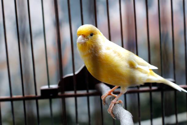 beau canari jaune assis sur la cage - canari photos et images de collection