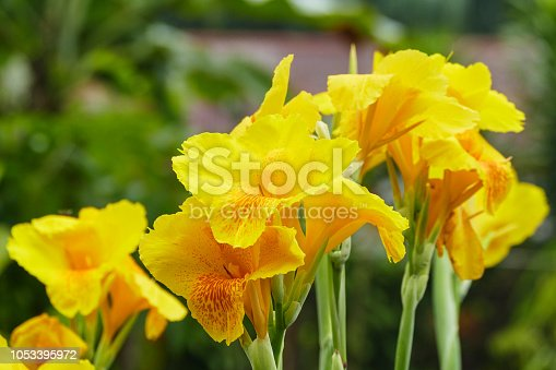 Beautiful yellow Canna lilly in tropical garden