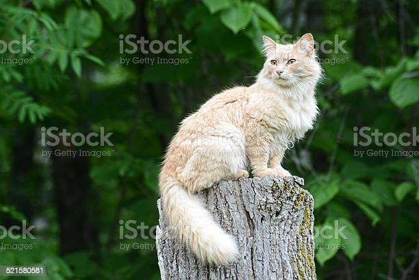 Beautiful yellow cat posing on top of a fence post picture id521580581?b=1&k=6&m=521580581&s=612x612&h=9x7ok5ogf7r9iqm62jsbbzv2sn2wteeubyqbuuuofna=