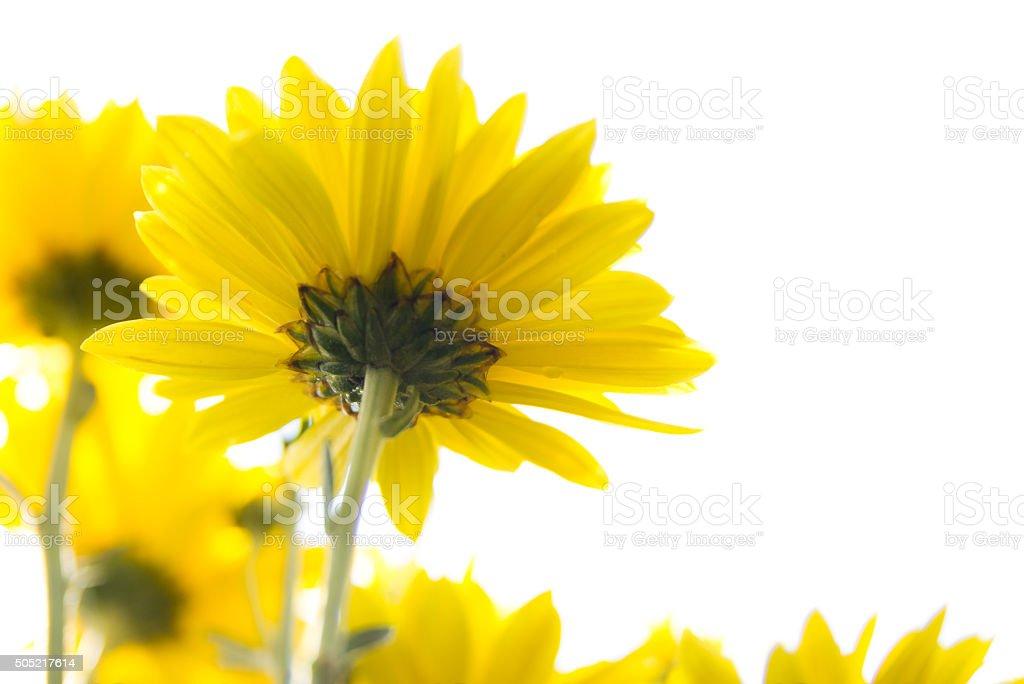 Beautiful yellow chrysanthemum flower background stock photo