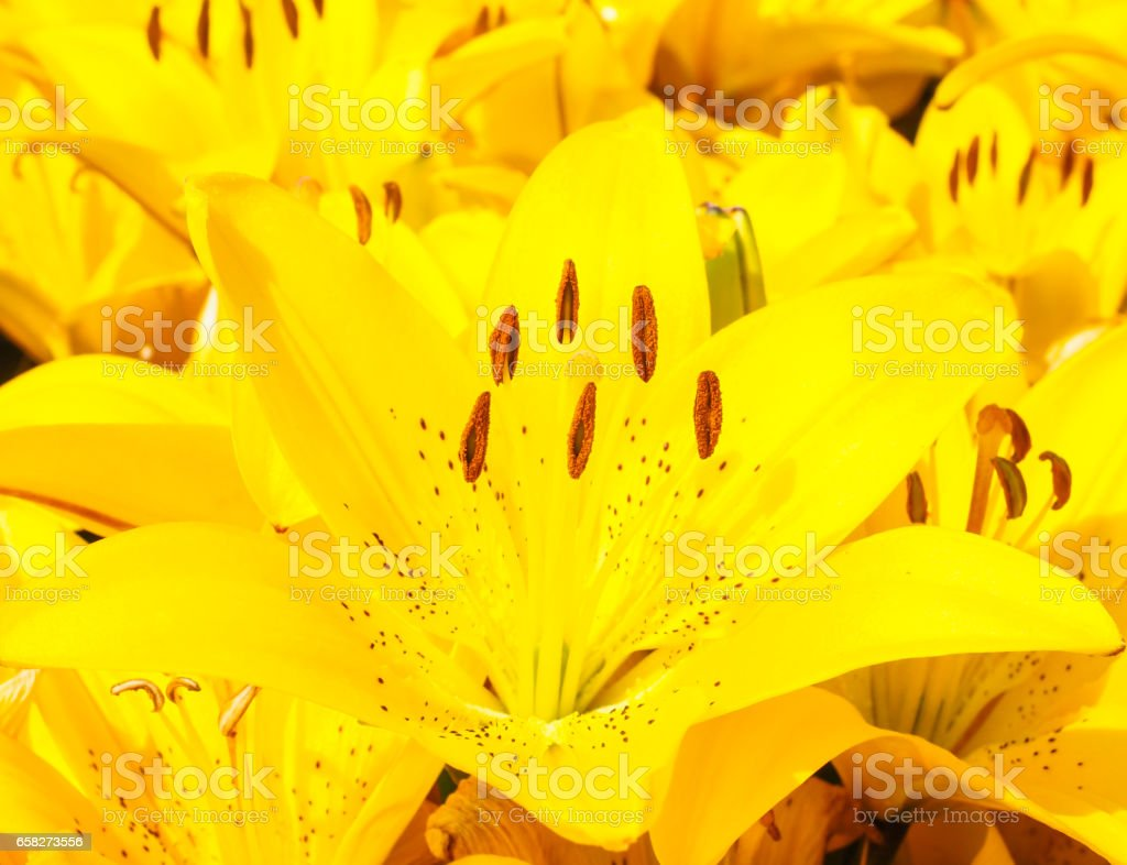 Beautiful yellow colored lily at close-up stock photo