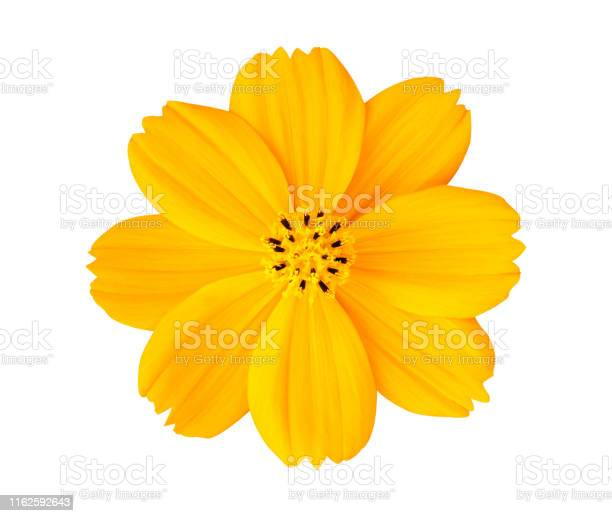 Beautiful yellow cosmos flower isolated on white background with picture id1162592643?b=1&k=6&m=1162592643&s=612x612&h=yp3rno r sacknqabxor lw8idp2sch2v8g8sm zl2w=