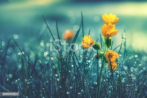 istock Beautiful yellow daisy in the morning dew. Shallow depth of field 958953920