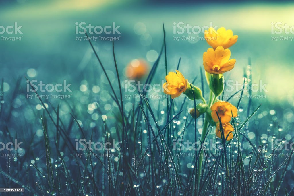 Beautiful yellow daisy in the morning dew. Shallow depth of field stock photo