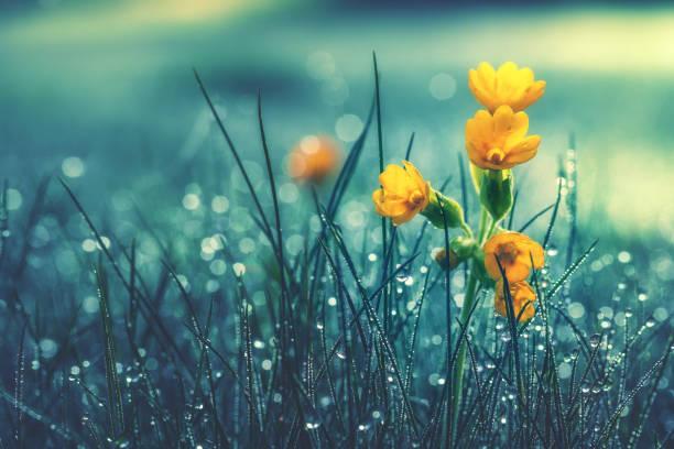 hermosa margarita amarilla en rocío de la mañana. profundidad de campo - lluvia fotografías e imágenes de stock