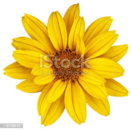 Beautiful yellow daisy. The Latin name is Heliopsis. Isolated image on white background