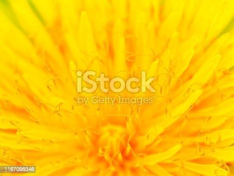 Beautiful Yellow Dandelion Close Up Macro image. Natural summer tine background.